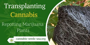 Transplanting Cannabis correctly – How to transplant Marijuana