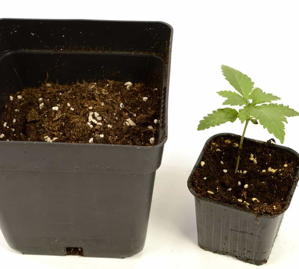 transplanting cannabis larger container