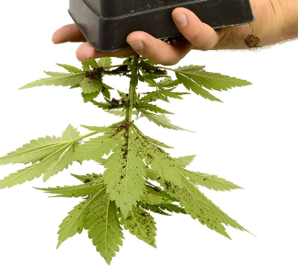 turn the cannabis plant upside down