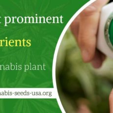 The most prominent nutrients for the Cannabis plant