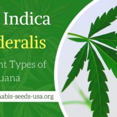 Cannabis Sativa, Indica & Ruderalis – The different Types of Marijuana