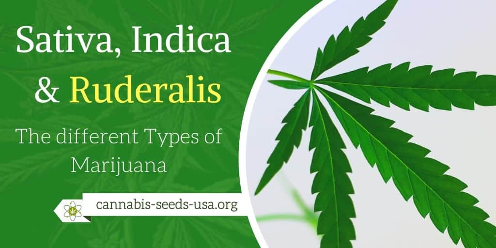 Cannabis Sativa, Indica & Ruderalis – The different Types of Marijuana