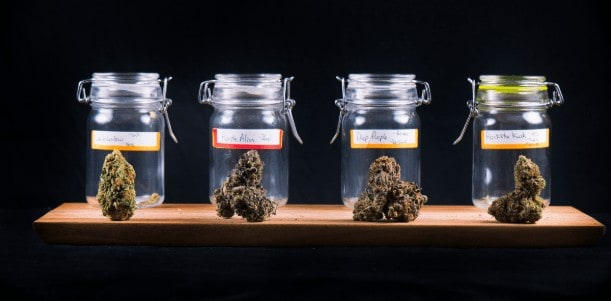 How to choose a cannabis strain