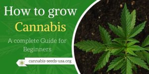 How to grow Cannabis – A complete Guide for beginners