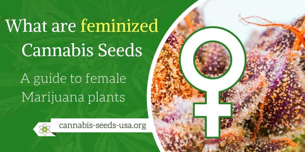 What are feminized cannabis seeds A guide to female Marijuana plants
