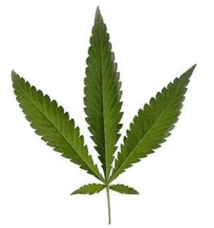 cannabis ruderalis leaf
