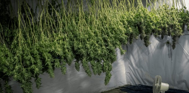 Harvest cannabis plants