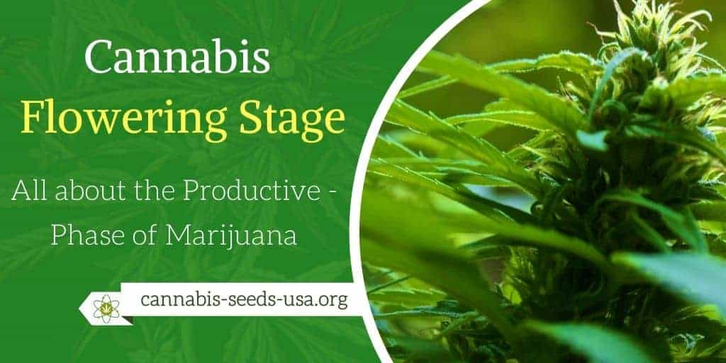 Cannabis Flowering Stage - All about the Productive Phase of Marijuana