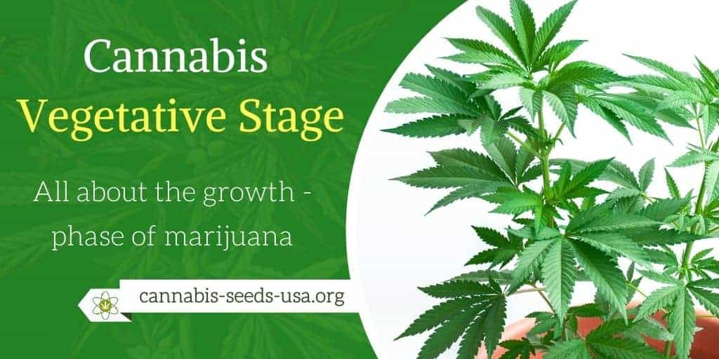Cannabis Vegetative Stage – All about the growth phase of marijuana