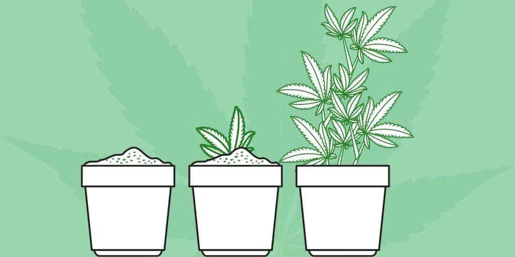 Cannabis Vegetative Stage