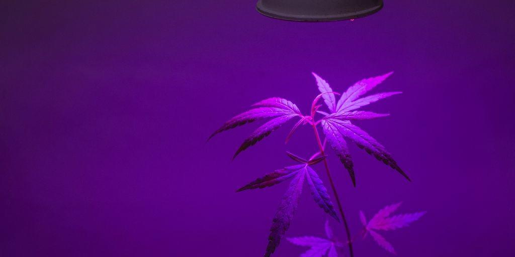 LED Grow Lights Cannabis