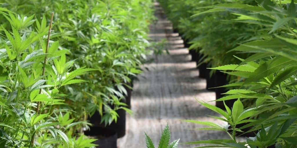 Vegetative Phase Cannabis