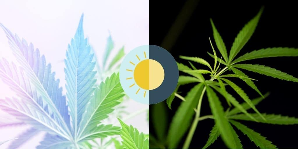 cannabis day and night cycle