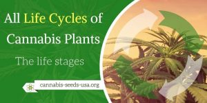 All Life Cycles of the Cannabis Plant
