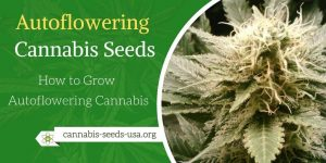 Autoflowering Cannabis Seeds Grow Guide - How to Grow Autoflowering Cannabis