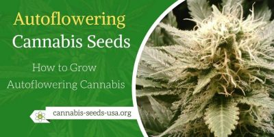Autoflowering Cannabis Seeds Grow Guide – How to Grow Autoflowering Cannabis
