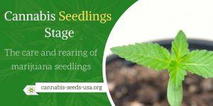 Cannabis Seedlings Stage - The care and rearing of marijuana seedlings