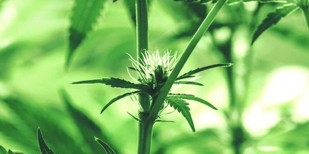 Female Cannabis Plant