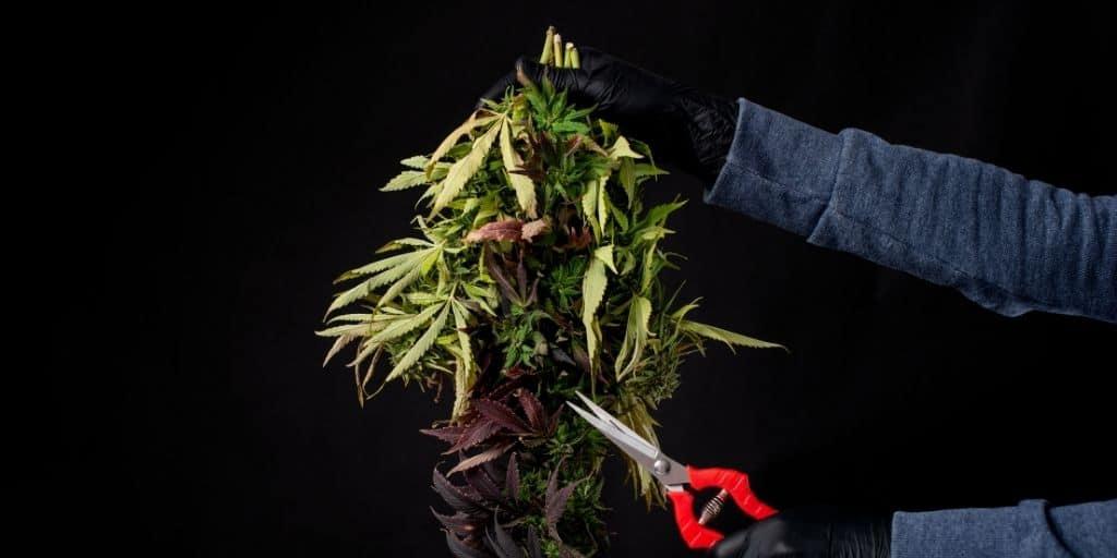 How to harvest cannabis