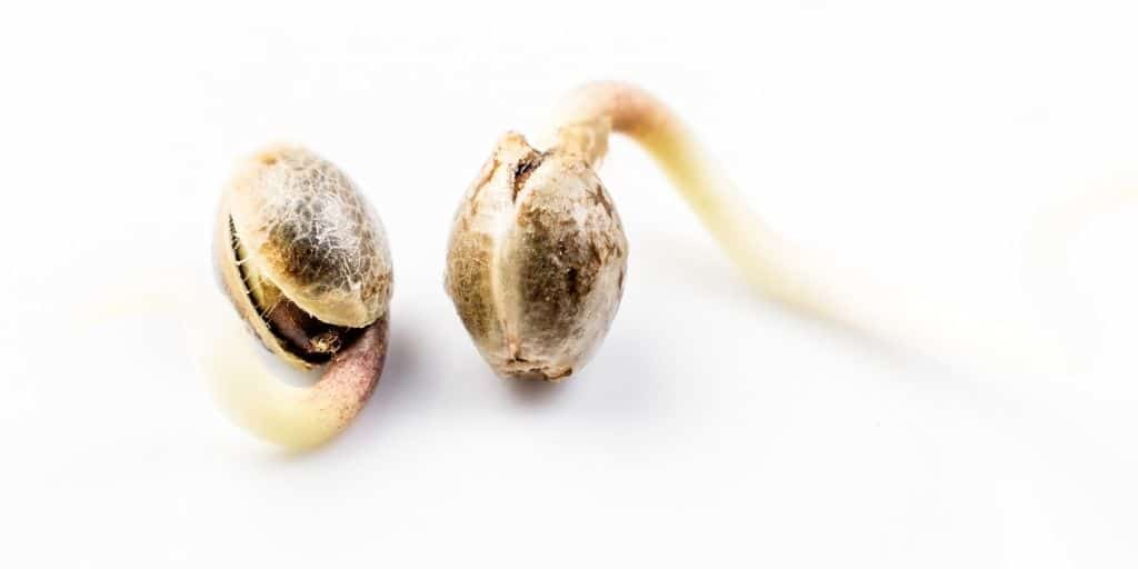 Identify the location where the plant sprouted after germination