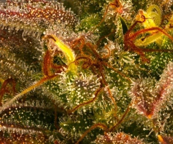 More resin in older plants