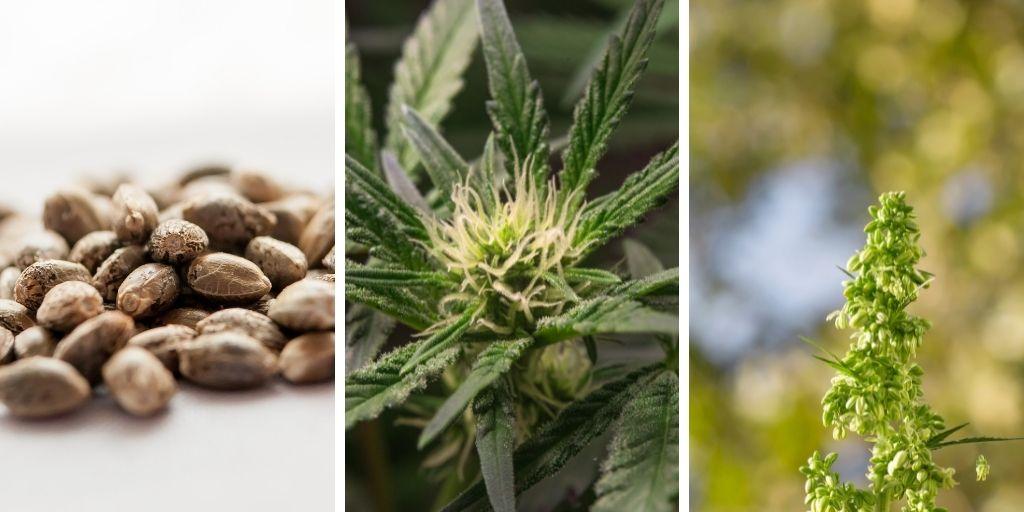 Regular Cannabis-Seeds and Male Cannabis-Plants