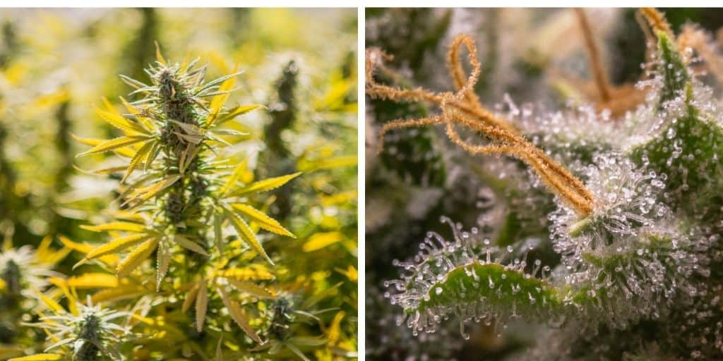 Signs that outdoor cannabis is ready for harvest