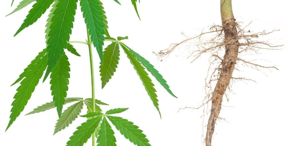 The Cannabis Root System