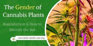 The Gender of Cannabis Plants & Reproduction - How to Identify the Sex
