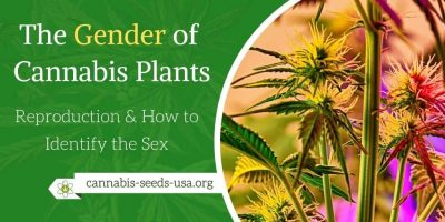 The Gender of Cannabis Plants  & Reproduction – How to Identify the Sex