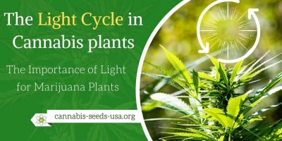 The Light Cycle in Cannabis plants – The Importance of Light for Marijuana Plants