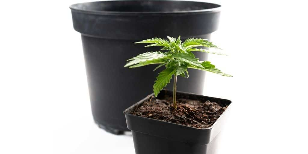 Too small a pot for the cannabis seedling