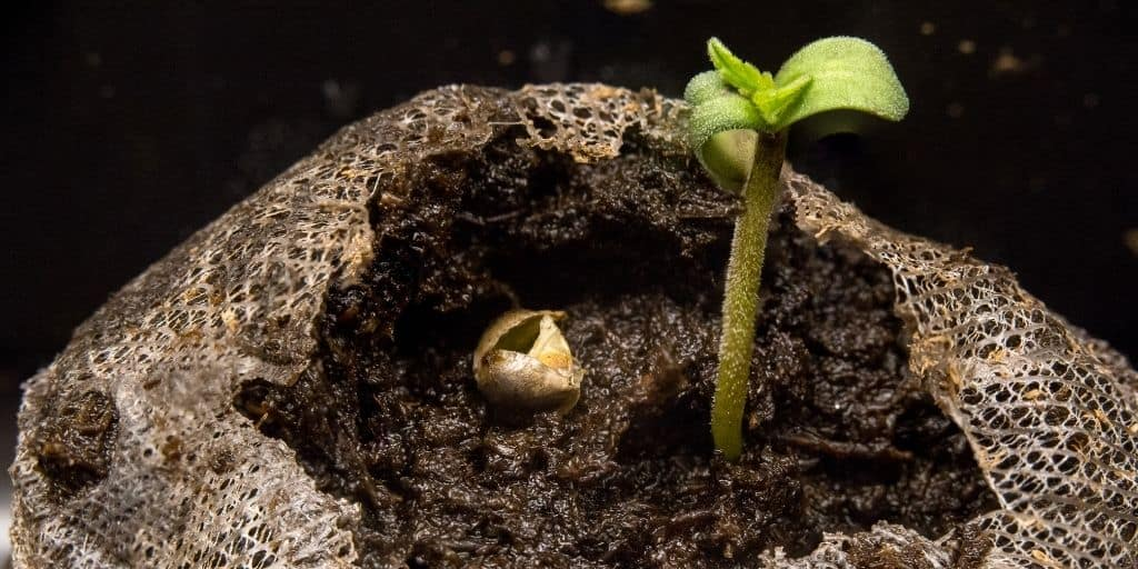 What Cannabis Seedlings are