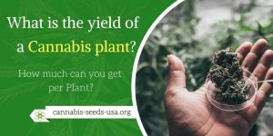 What is the yield of a Cannabis plant