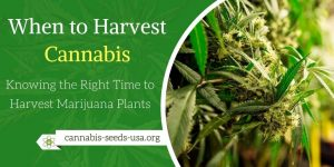 When to Harvest Cannabis - Knowing the Right Time to Harvest Marijuana Plants