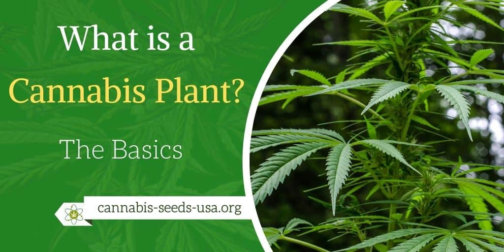 What is a Cannabis Plant? The Basics of the Marijuana Plant