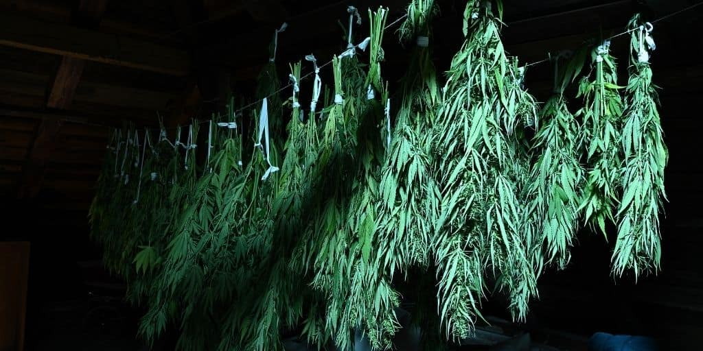 Temperature at drying and curing cannabis