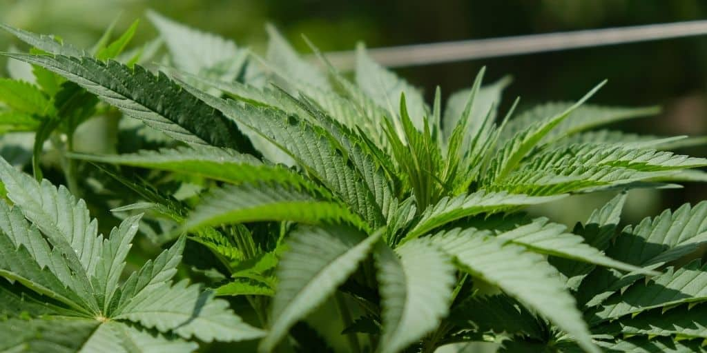 Temperature in the vegetative stage of cannabis
