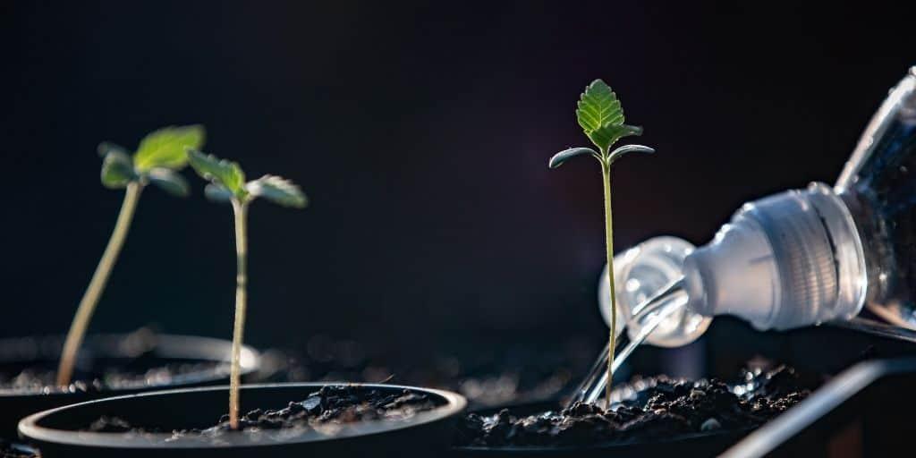 Watering Cannabis Seedlings