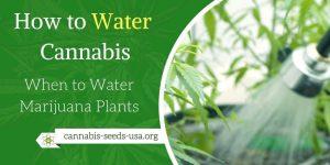 When to Water Marijuana Plants