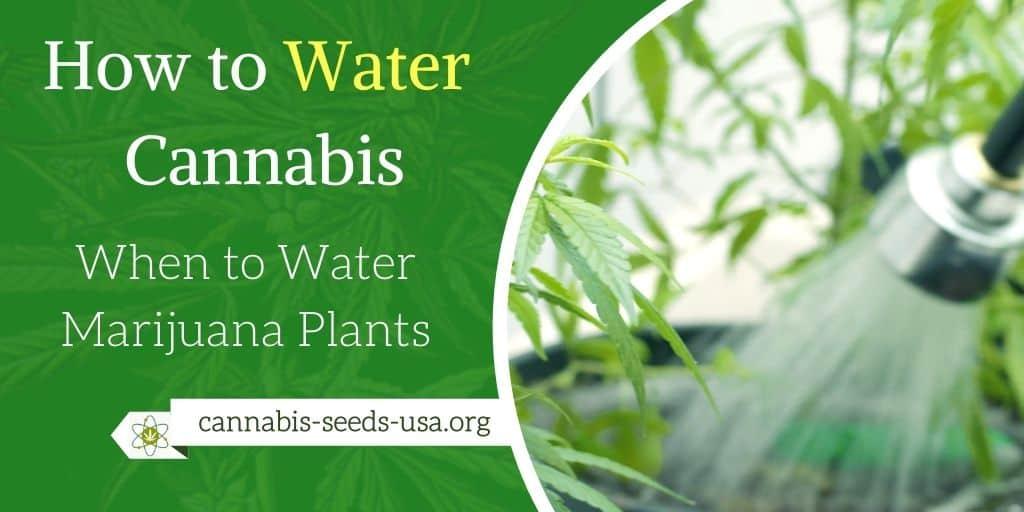 How to Water Cannabis – When to Water Marijuana Plants