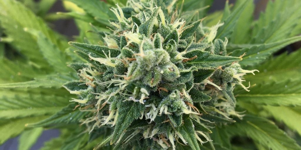 Signs that autoflowering Cannabis Plants are ready for harvest
