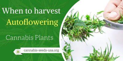 When to harvest Autoflowering Cannabis Plants